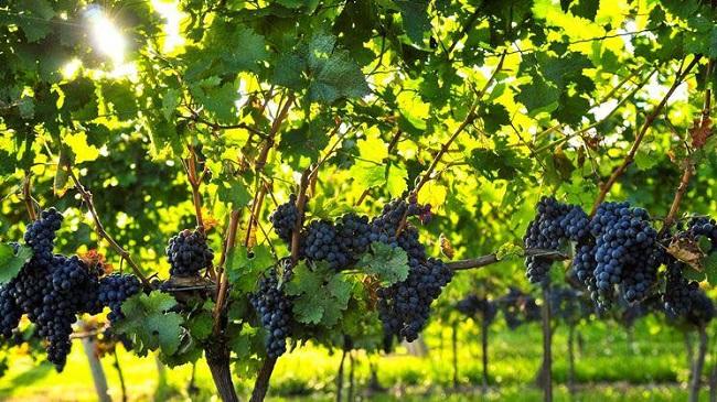 suvereto wine experience 2017