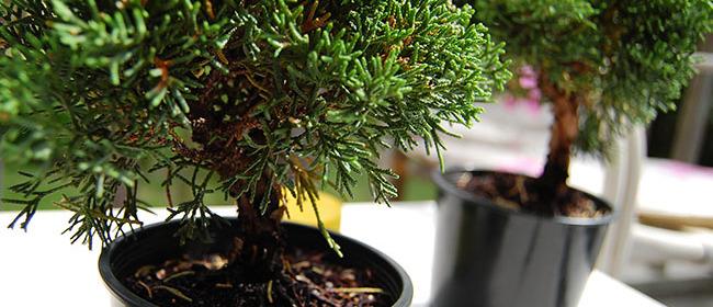 26773__bonsai