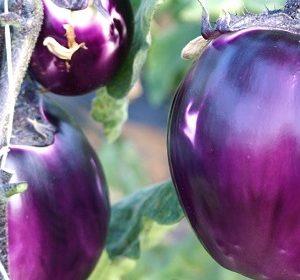 32104__violetta+melanzana+fiorentina