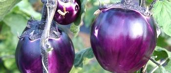 sagra della violetta firenze