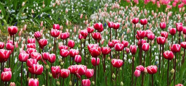 tulipani_pixabay