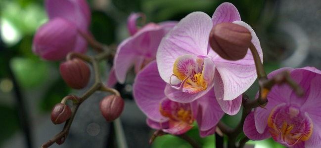 orchidea_pixabay